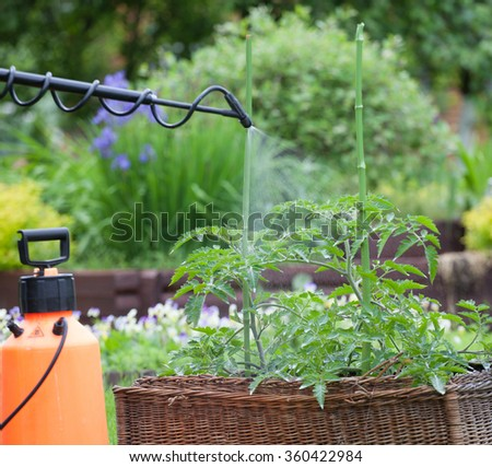 Protecting tomato plants from fungal disease, gardening concept - stock photo