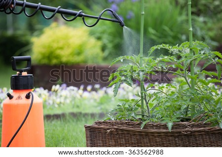 Protecting tomato plants from fungal disease or vermin with pressure sprayer gardening concept  - stock photo