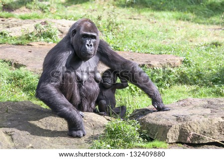 protective gorilla mother gives her young shelter under her arm - stock photo