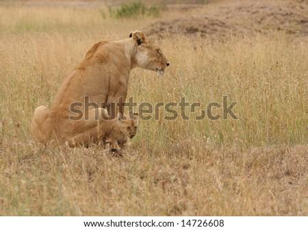 Protective Lioness - stock photo