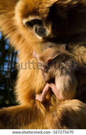 Protective White Handed Gibbon mother with baby (Hylobates lar) - stock photo