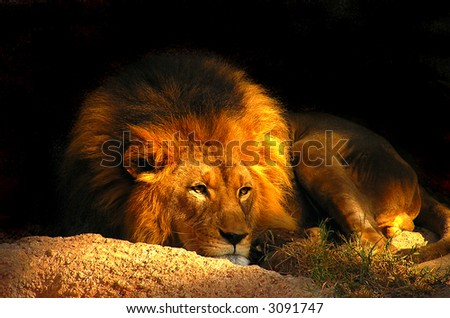 Proud Lion Resting at Sunset - stock photo