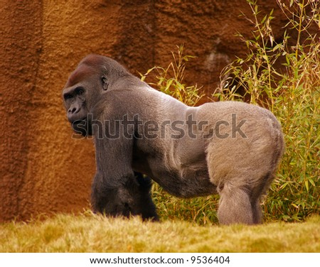 Proud Male Silverback Gorilla Glancing Over Back - stock photo
