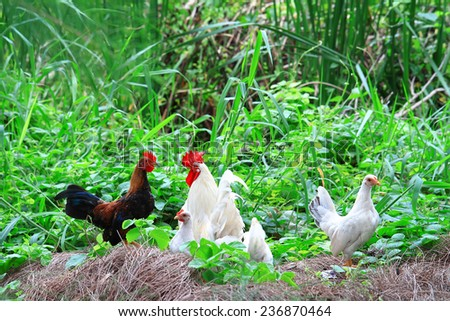 Proud rooster  - stock photo