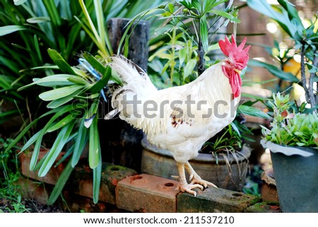 Proud rooster , chicken - stock photo