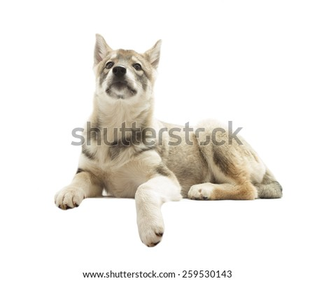 proud Siberian Husky lies on a white background isolated
