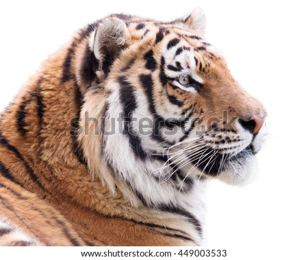 Proud tiger isolated on white background