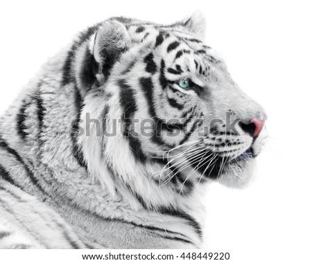 Proud white tiger - stock photo