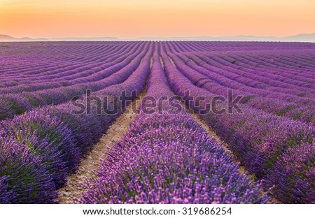 Provence, France. Lavender field at sunset.
