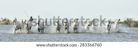 PROVENCE, FRANCE - 07 MAY, 2015: Riders and White horses of Camargue running through water. France Black and white photo.  Nature reserve in Parc Regional de Camargue.  - stock photo