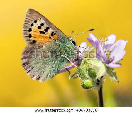 Provence Hairstreak,Tomares ballus - stock photo