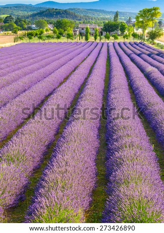 Provence Lavender Field - stock photo