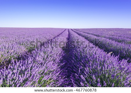 Provence, Lavender field at day.
