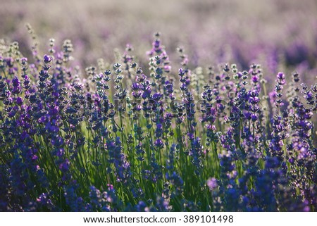 Provence lavender flowers.