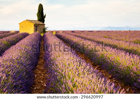 Provence, Valensole Plateau, purple lavander fields at sunset, lonely country house.