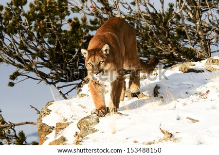 Prowling cougar - stock photo
