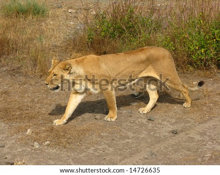Prowling Lioness (Female Lion) - stock photo