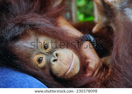 Proximity to humans of orangutan. - stock photo