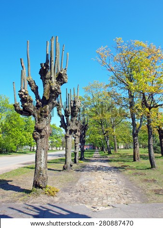 Pruned trees without leaves grow near footpath         - stock photo