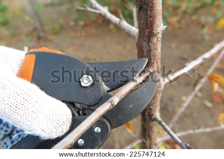 Pruning a fruit tree branch with a garden secateur in the autumn garden - stock photo