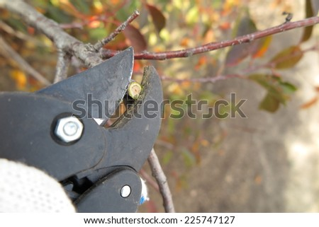 Pruning a fruit tree branch with a garden secateur in the autumn garden
