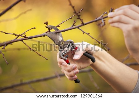 Pruning an fruit tree - Cutting Branches at spring - stock photo