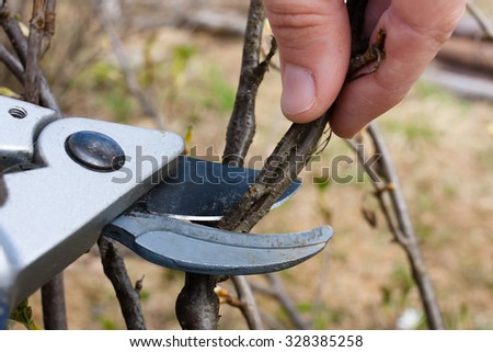 Pruning black current by pruning shears