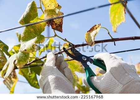 pruning fruit tree - stock photo