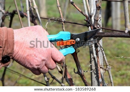 Pruning grape in a vineyard selective focus on the scissors - stock photo