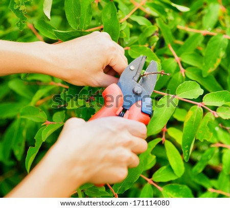 Pruning leaves with garden pruner. - stock photo