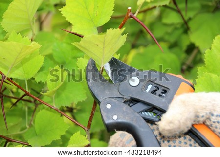Pruning of a hawthorn shrub hedge with a garden secateurs in the summer garden