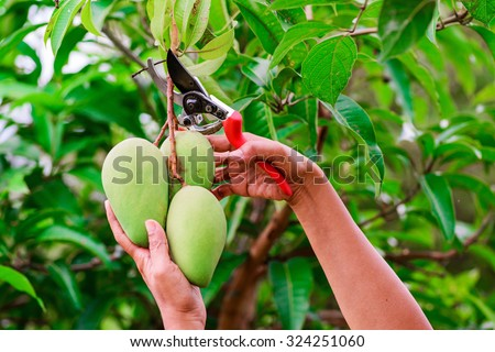 Pruning shears to cut the branches of mango. - stock photo