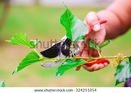 Pruning shears to cut the branches of mulberry - stock photo