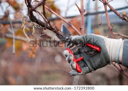 pruning the vineyard - stock photo