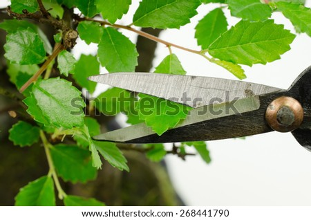 pruning your bonsai, leaf cutting - stock photo