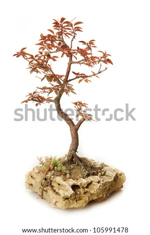 Prunus cerasifera bonsai isolated on white - stock photo