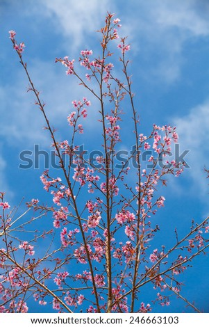 Prunus cerasoides pink flowers are in full bloom in the winter of each year.