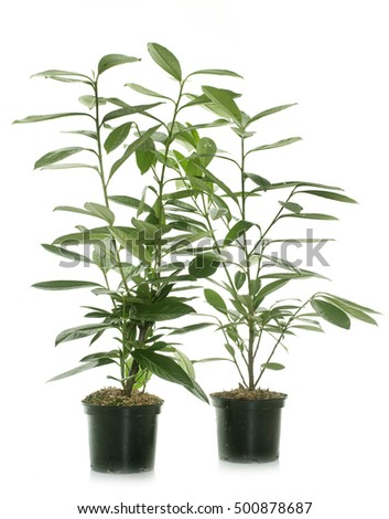 Prunus laurocerasus in front of white background