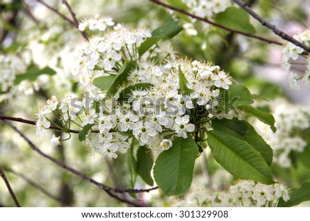 Prunus padus(Bird Cherry) blossoming  - stock photo