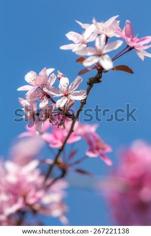 Prunus Serrulata, Garden Tree  - stock photo
