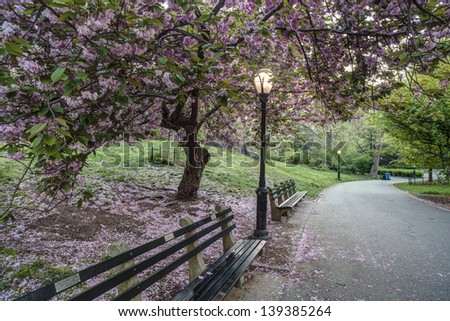 Prunus serrulata or Japanese Cherry; also called Hill Cherry, - stock photo