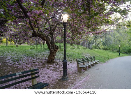 Prunus serrulata or Japanese Cherry; also called Hill Cherry, Oriental Cherry or East Asian Cherry, is a species of cherry native to Japan, - stock photo