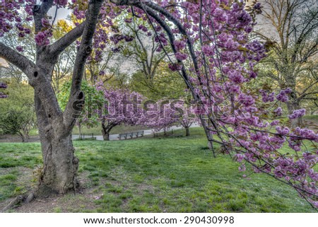 Prunus serrulata or Japanese Cherry; also called Hill Cherry, Oriental Cherry or East Asian Cherry, - stock photo