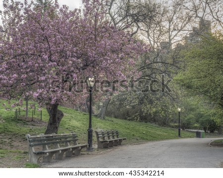 Prunus serrulata or Japanese Cherry; also called Hill Cherry, Oriental Cherry or East Asian Cherry, is a species of cherry native to Japan, Korea and Chinaspring cherry blossom displays and festivals.