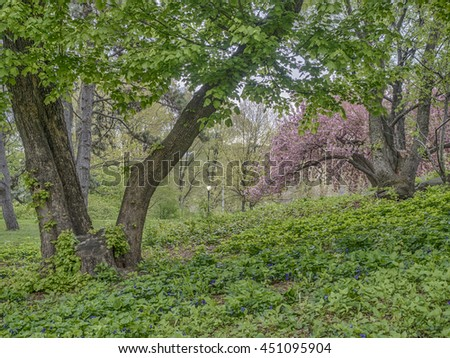 Prunus serrulata or Japanese Cherry; also called Hill Cherry, Oriental Cherry or East Asian Cherry, is a species of cherry native to Japan, Korea and China - stock photo