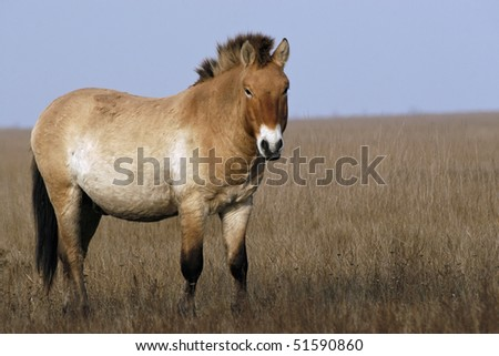 Przewalski Horse (Equus ferus przewalskii) at the meadow with blue sky in autumn