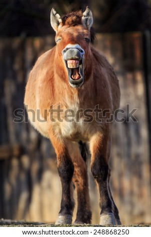 Przewalski's horse is laughs - stock photo