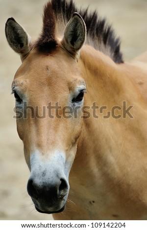 Przewalski's horse (Mongolian wild horse). - stock photo