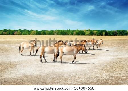 Przewalski's horses (Equus ferus przewalskii) in Hortobagy, Hungary.  - stock photo