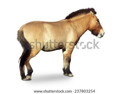 Przewalski's primitive wild horse, Equus przewalsk,full body isolated on white - stock photo